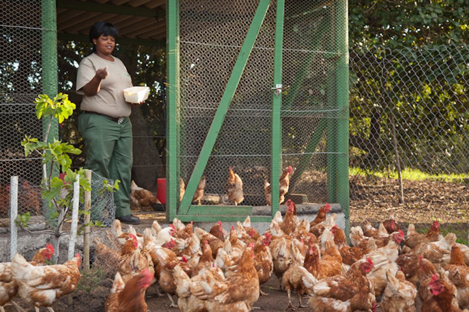pic1318chickens-on-grootbos-gather-for-food-lr