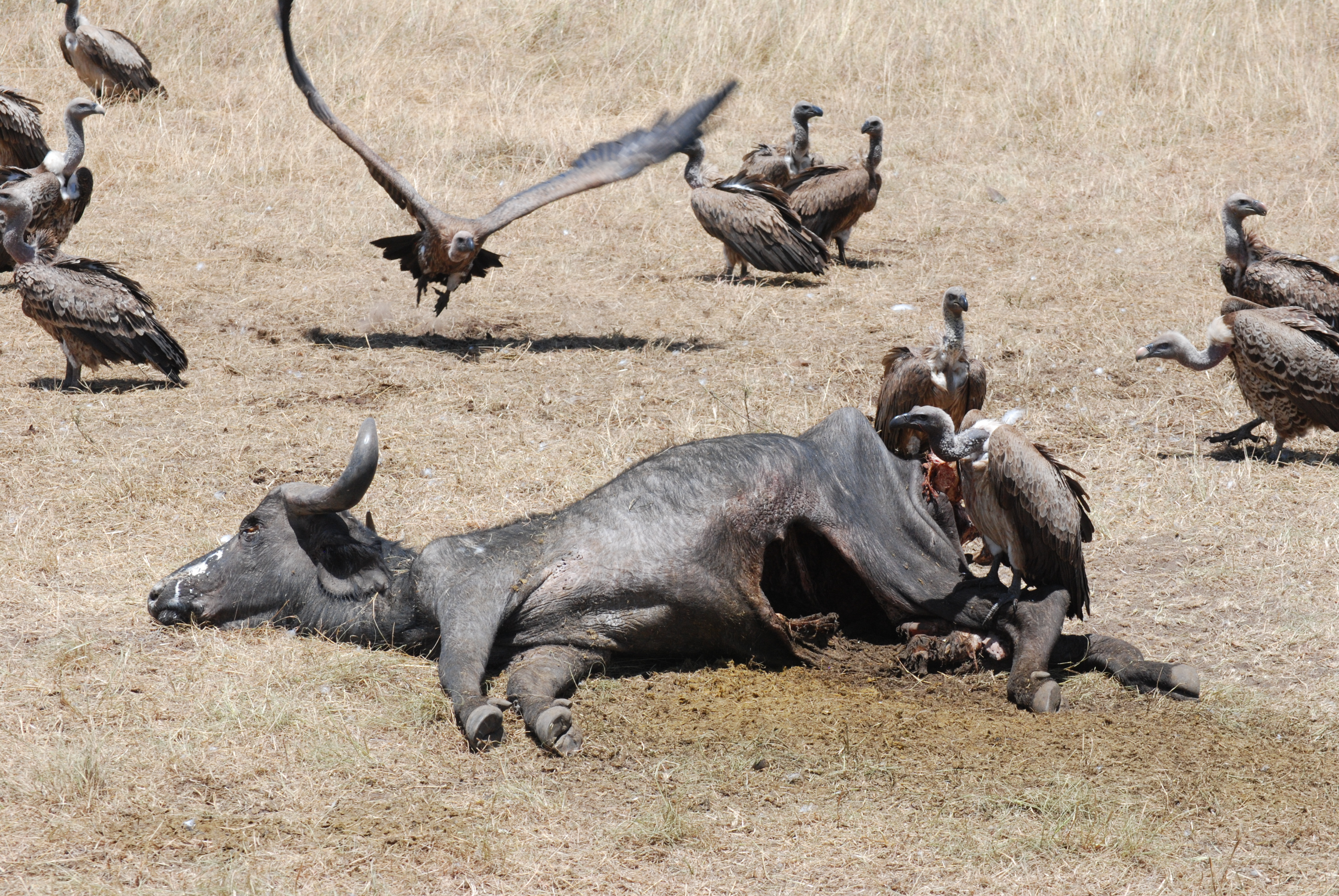 Avvoltoi e carcassa di bufalo