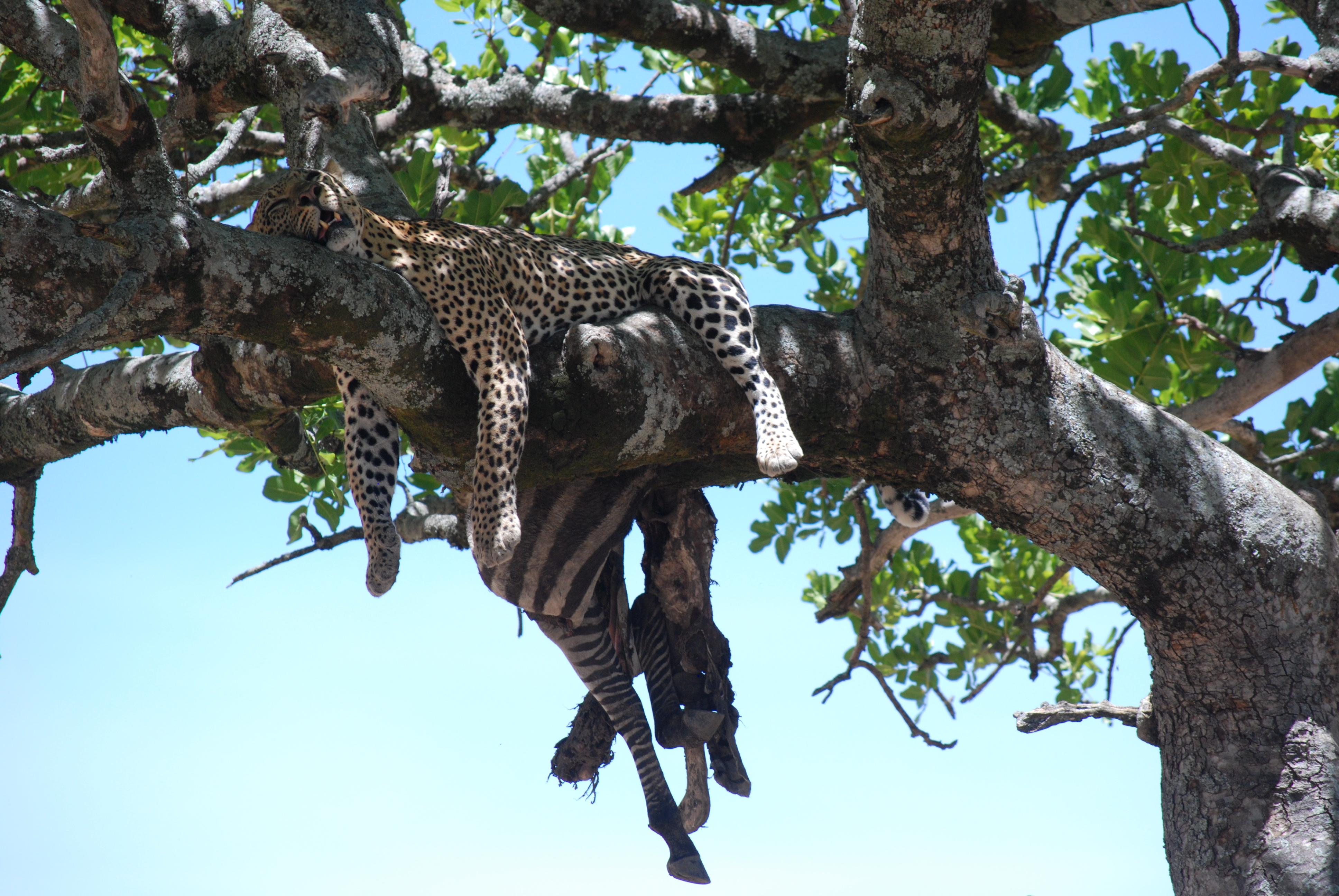Leopardo con preda su albero di kigelia