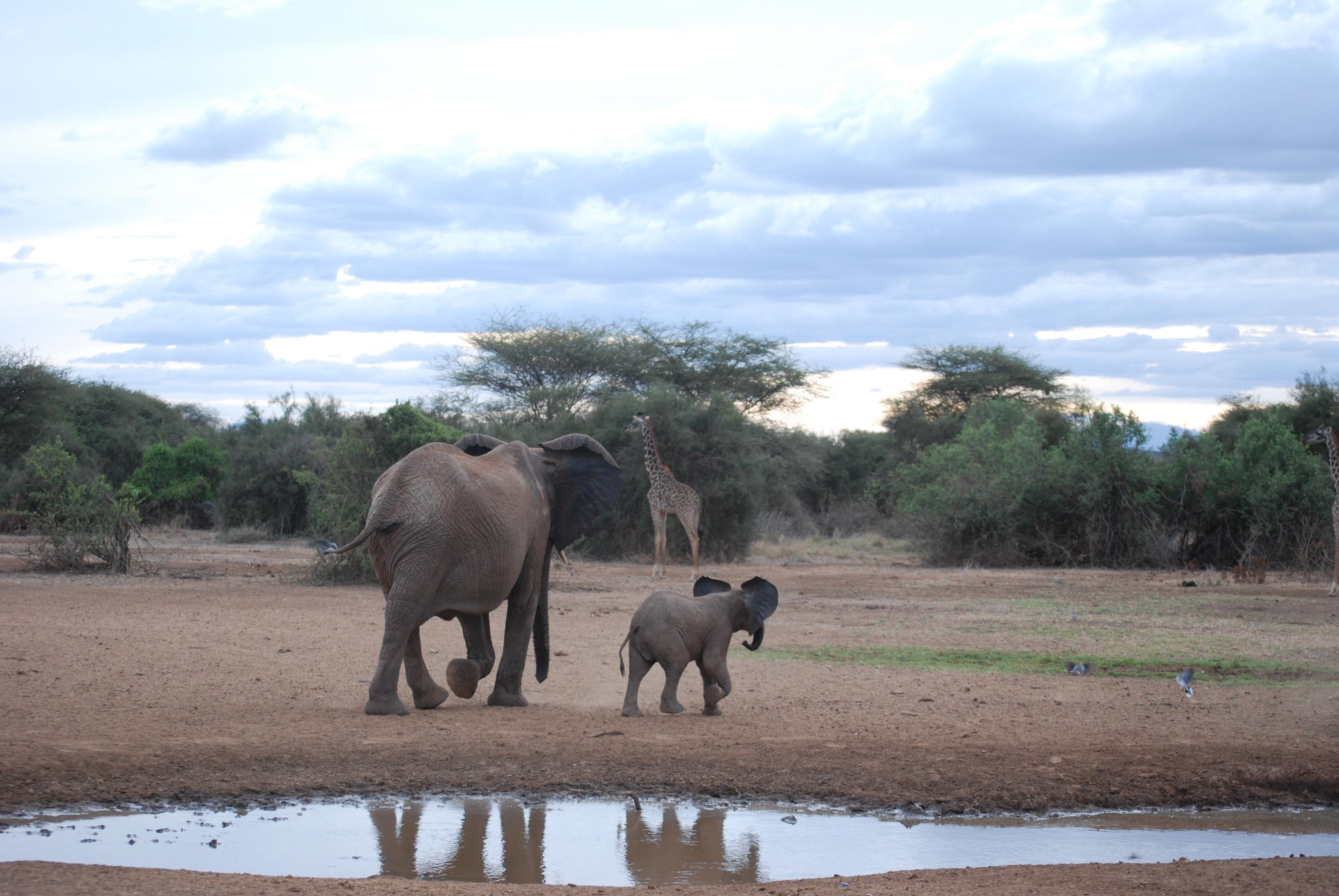 Elefanti e giraffa