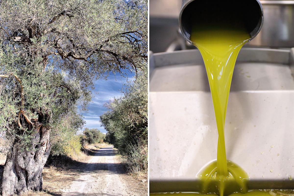 Ulivi secolari e spremitura olive all'azienda Podda di Ussaramanna