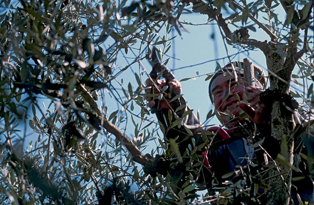 Colli Martani, potatura degli olivi