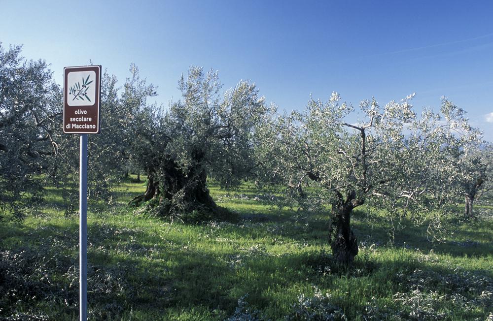Giano dell'Umbria, olivo secolare di Macciano