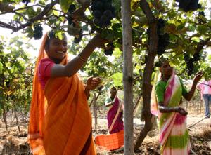 grape-harvesting-sula-vineyards-nashik-india_001p