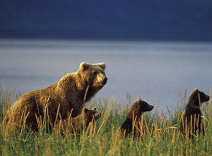 RCS_Bears_by_Ian_MacAllister