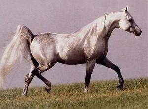 white-horse-tail-300x221[1]