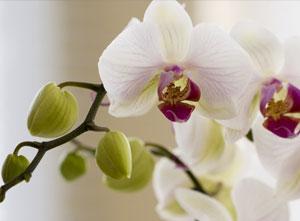 orchidea_min
