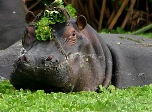 HIPPO VALERIA