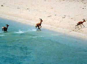 dahlak-gazzelle