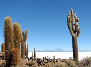 bolivia cactus