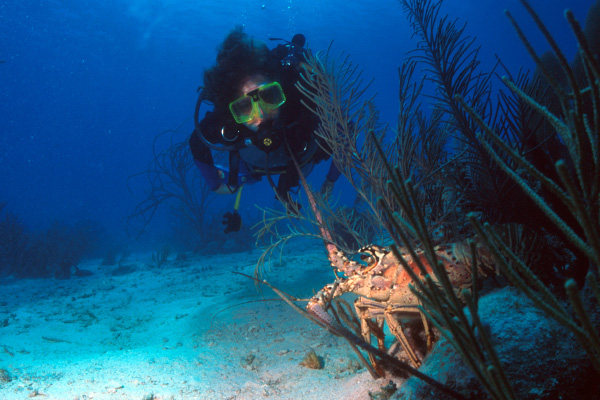 Scuba diver watching a lobster on the sea bed,