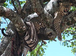 Leopardo kenia