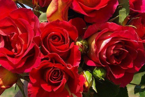 La Rosa di Brera