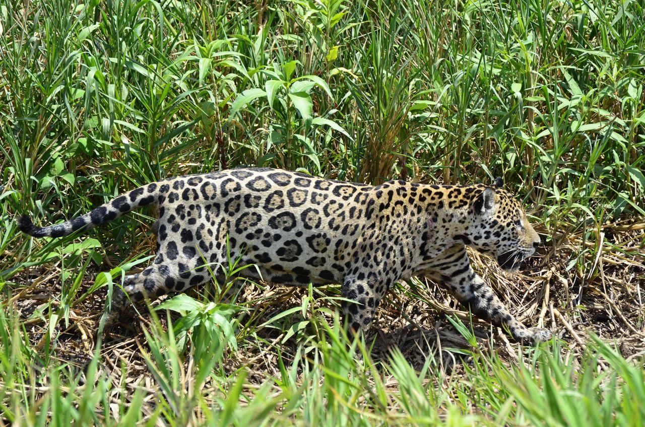 BRASILE_Pantanal_giaguaro (l'Onça pintada)