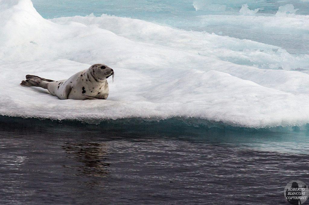 Foca-seal-Groenlandia