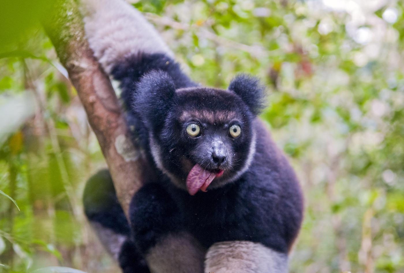 Un esemplare di indri (Indri indri), il più grande lemure esistente