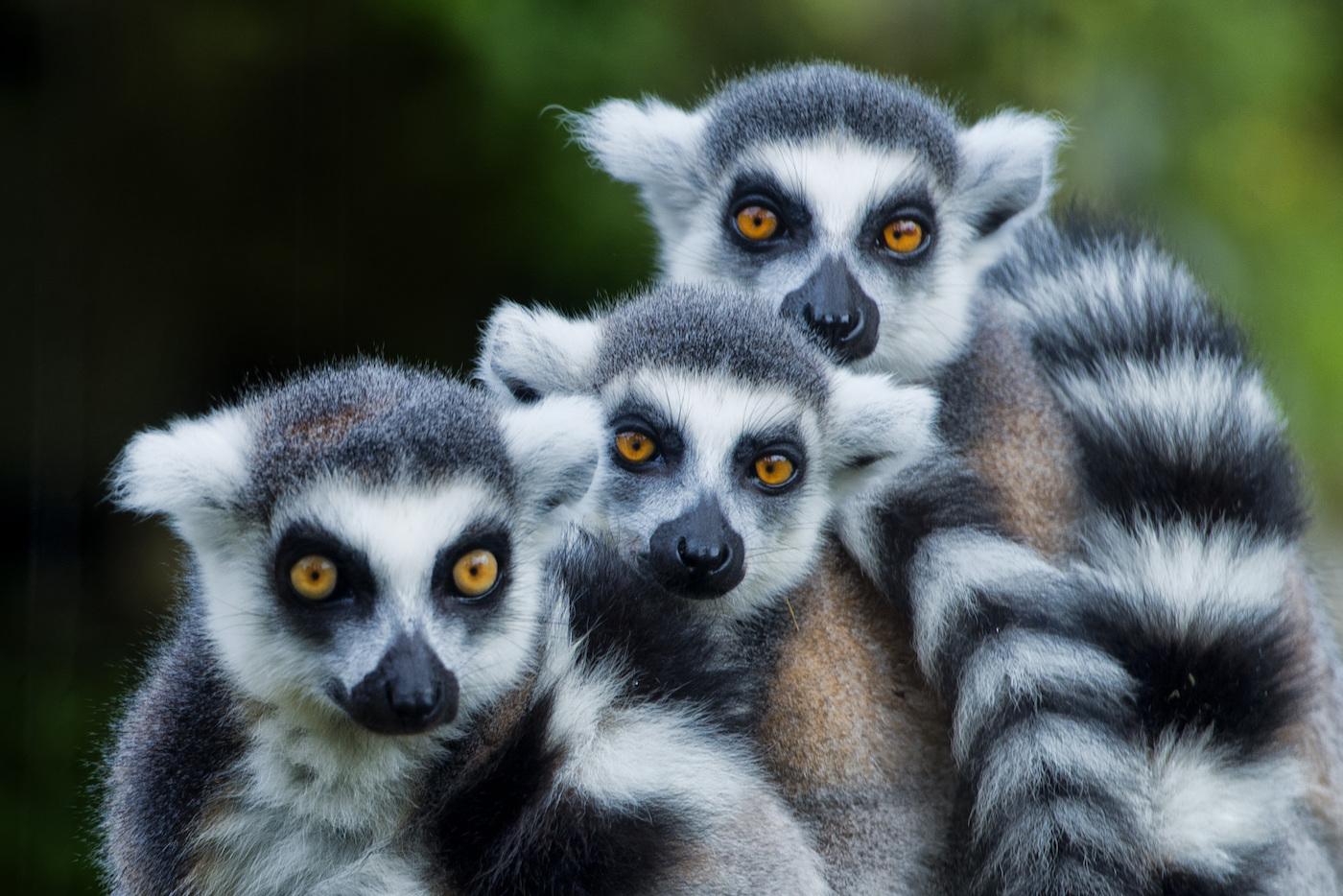 Tre lemuri dalla coda ad anelli (Lemur catta)