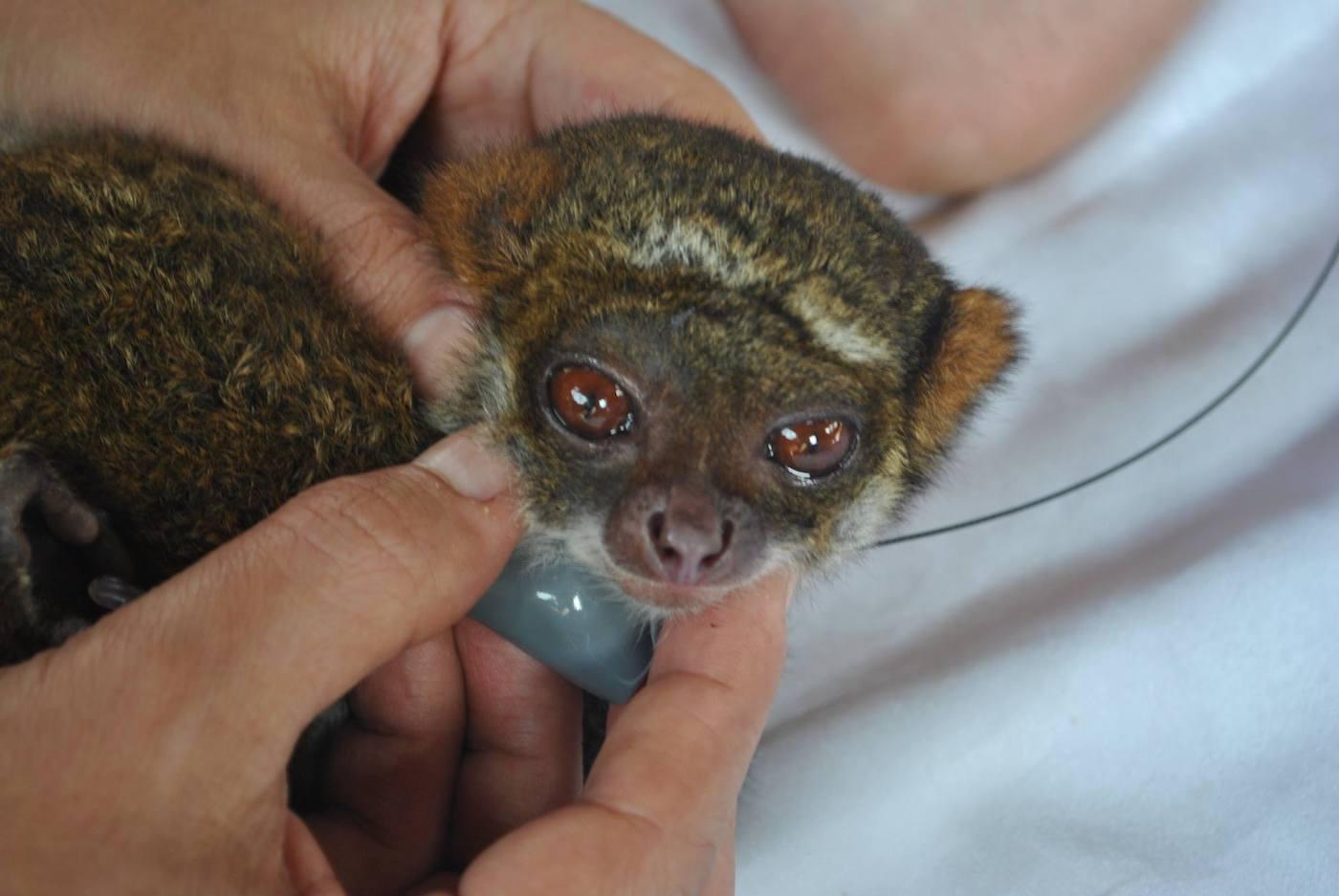 Lemure lanoso meridionale - foto Silvia Battisti