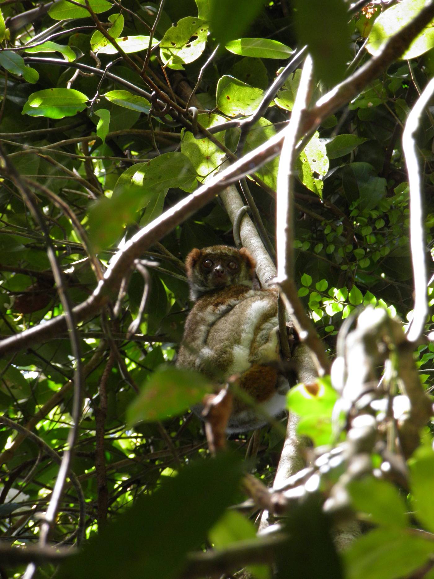 Lemure lanoso meridionale (Avahi meridionalis) - foto Rachel Sawyer