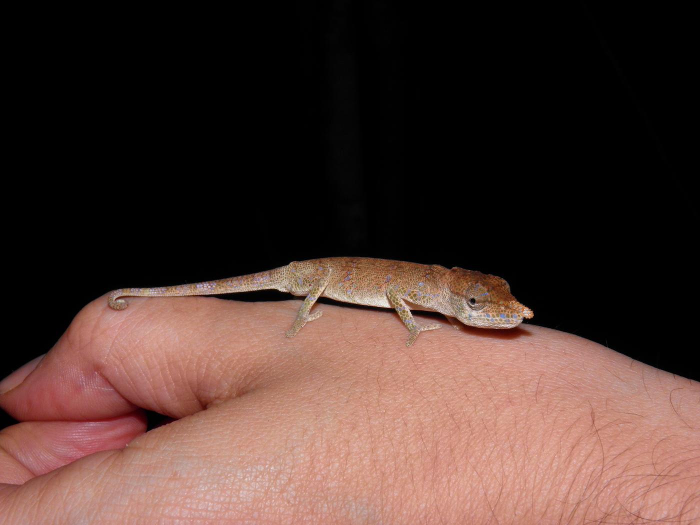 Un camaloente - foto R. Sawyer