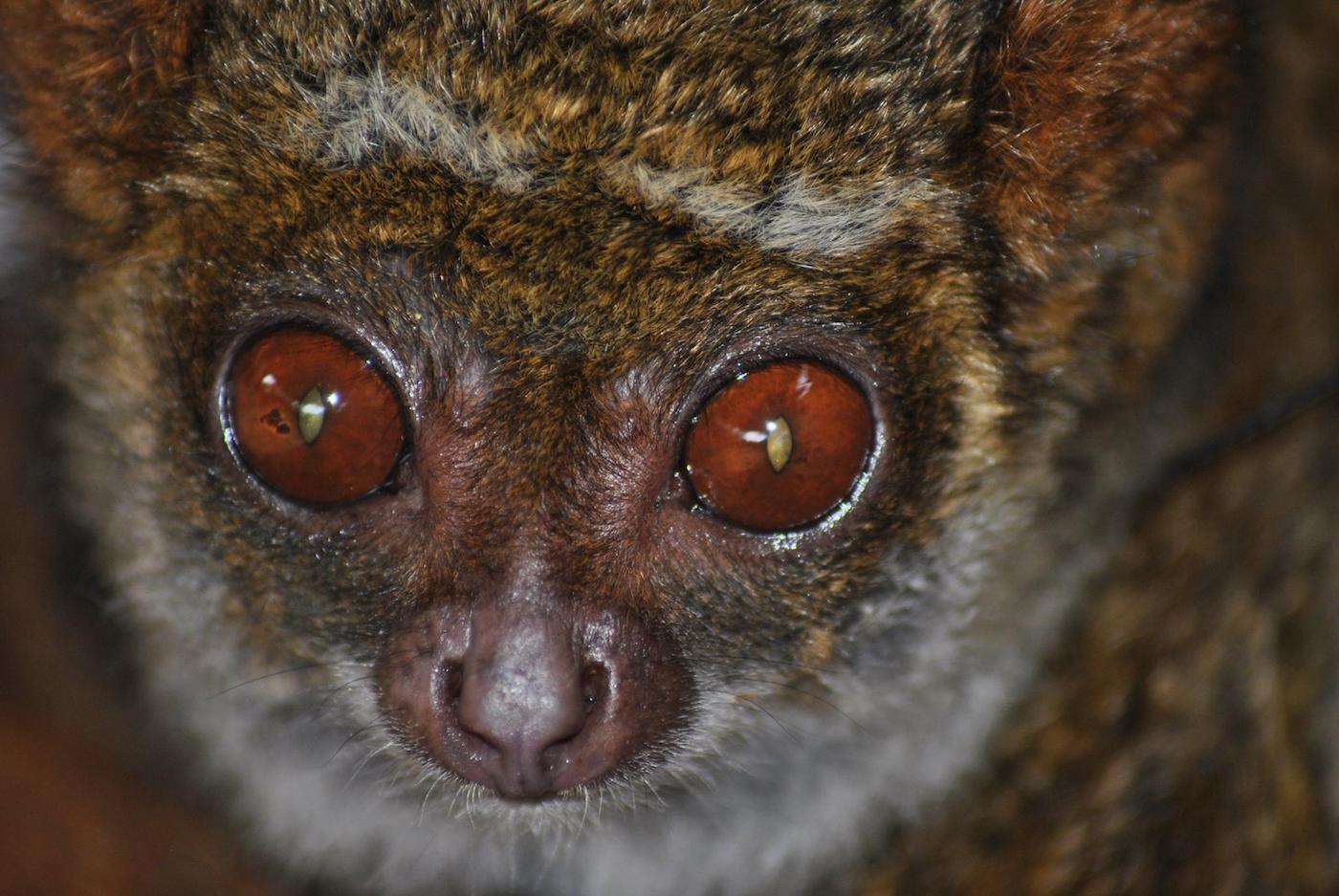 Un Avahi, genere di lemure di piccola taglia - foto Silvia Battisti