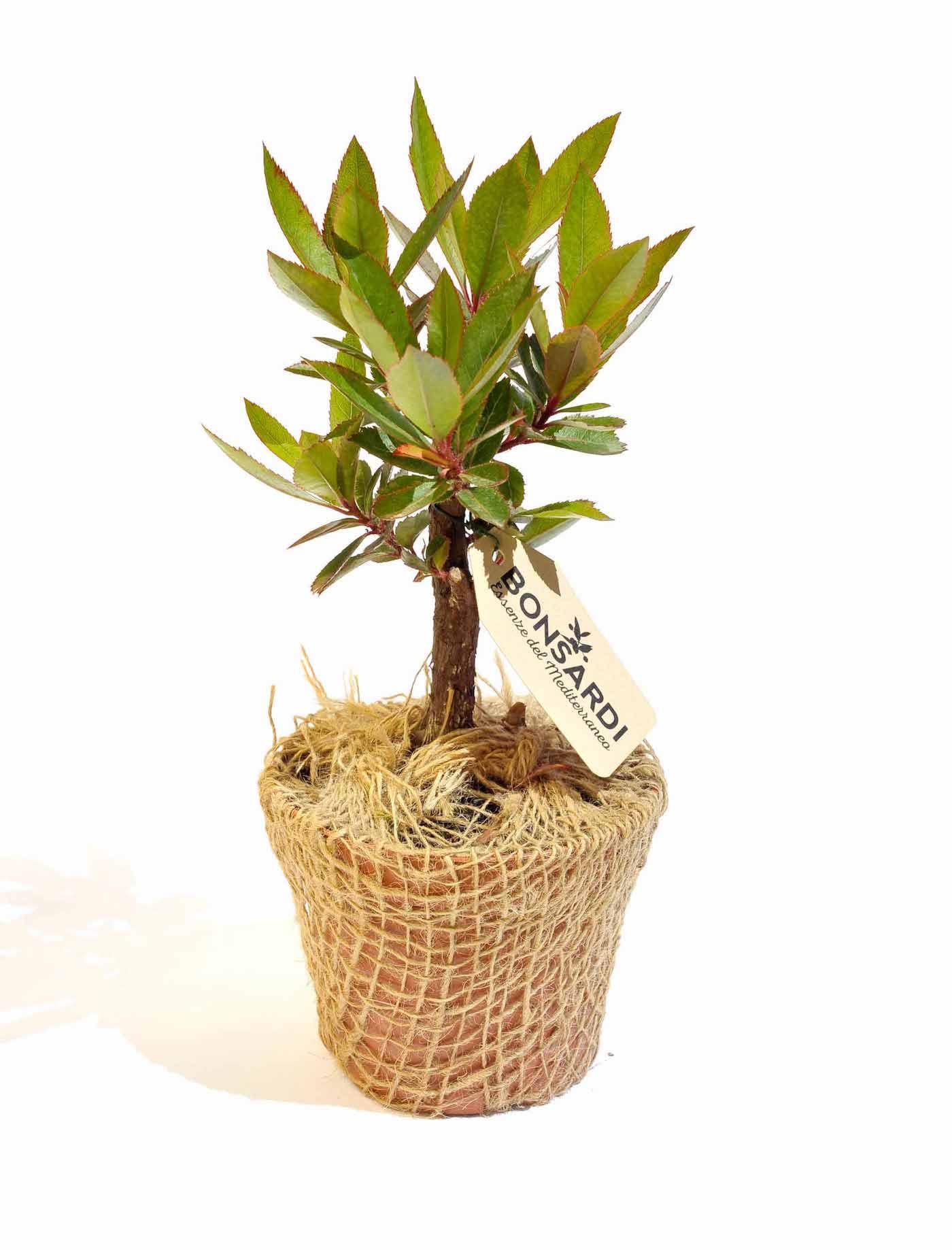 Bonsardo di lentisco (Pistacia lentiscus)